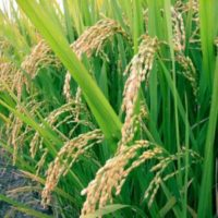 Как рис появился в России