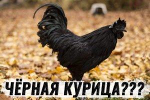 Черная курица существует? Необычный вид куриц -Аям Цемани